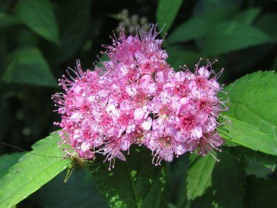 Insekt na cvetu