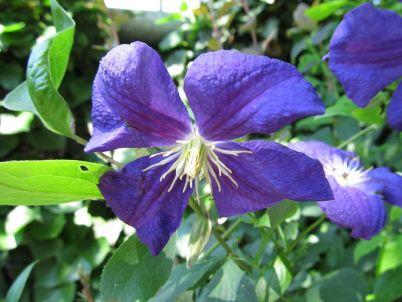 Cvet klematisa