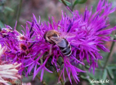 pčela i palamida